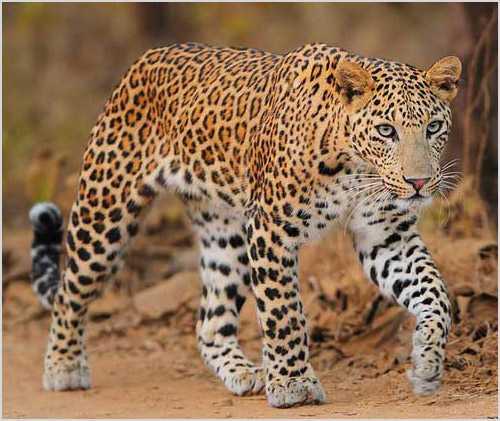 7967805fecd3 Окрас шкурки тёмно – коричневый, пятна крупные, округлой формы, выглядят на  фото контрастно. Индийский леопард