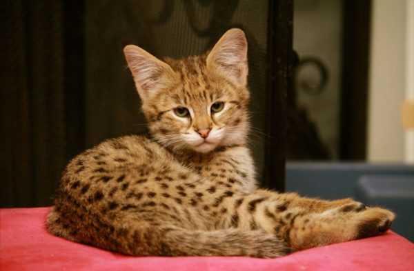 кот ашера цена ашера кошка фото цена описание породы характер