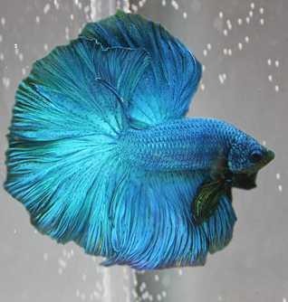 рыбка петушок окрасы