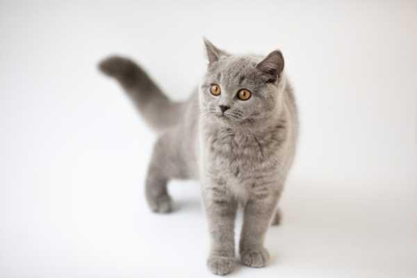 сколько дней у кошки течка первый раз