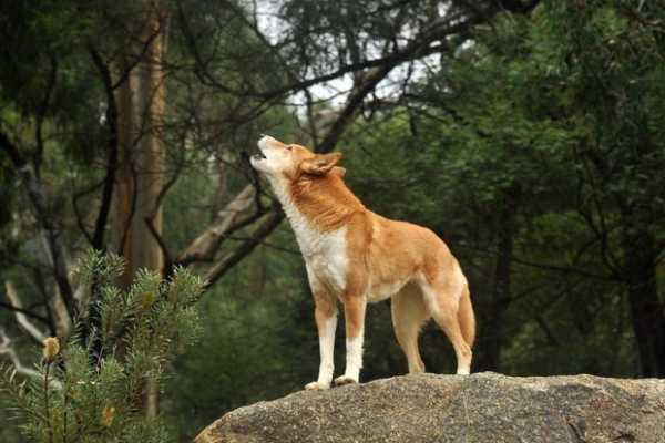 Вой собаки  генезис вредной привычки и причины ее образования